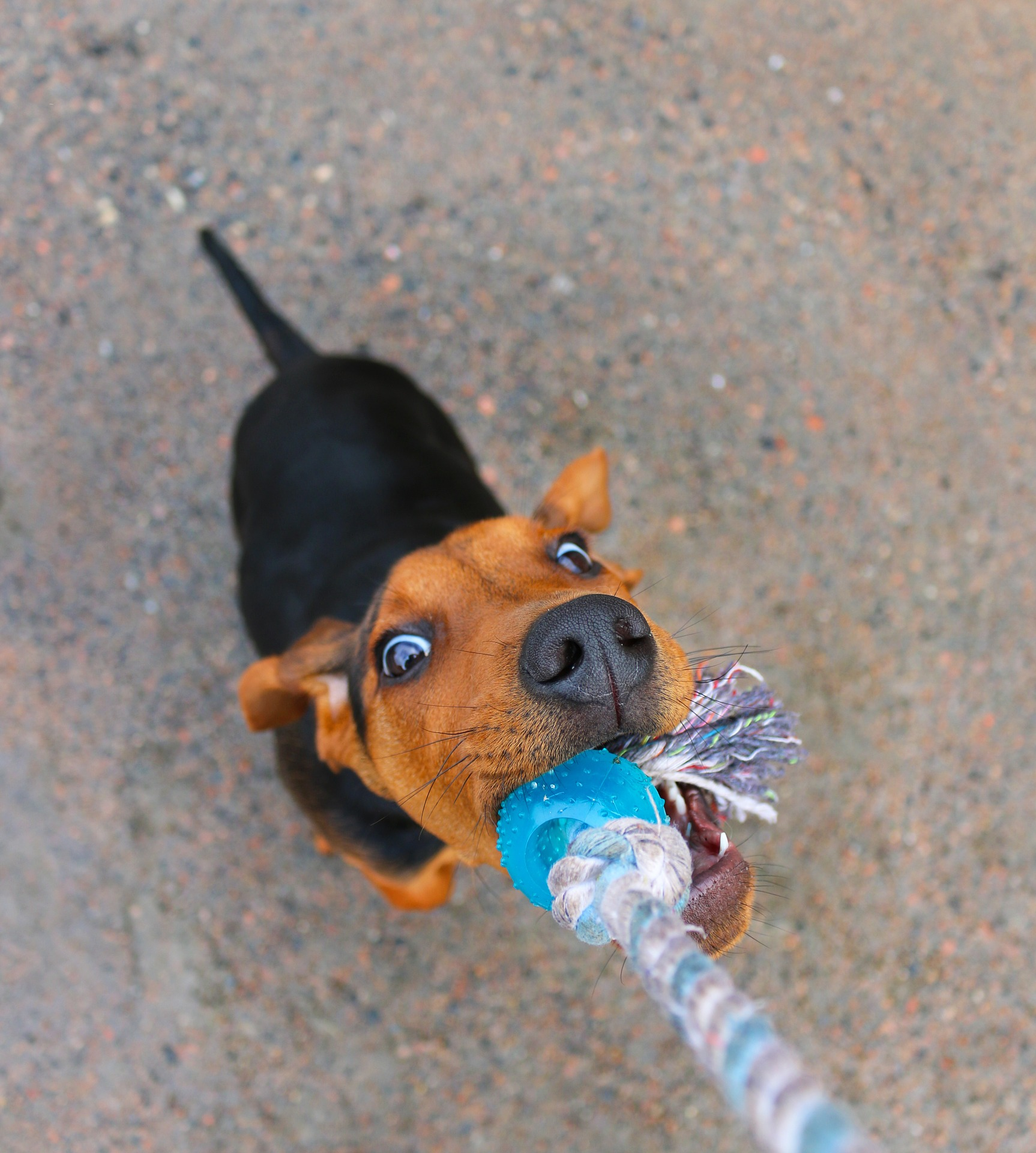 Play tug of war with puppy